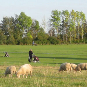 Fårene plejer roughen på golfbanen