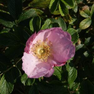 Rose `Dagmar Hastrup´