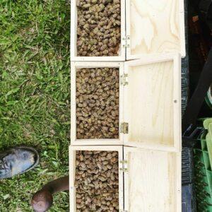 Osmia Kokoner (Murerbier) - habeetats høst
